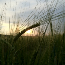 Barley Sunset