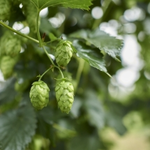 Hops on Bine