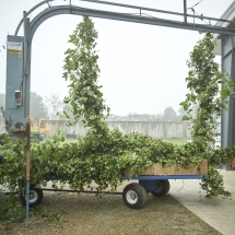 Hop bines being harvested